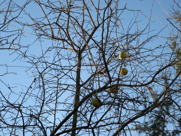 Osage orange tree (Scientific name: Maclura pomifera)